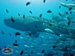 Whale Shark seen on scuba dive at Sail RocK