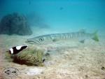 Pickhandle Barracuda at Mae Haad Reef, Koh Phangan