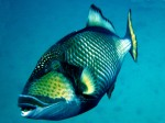 Titan Triggerfish at Sail Rock