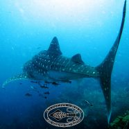 Whale Sharks in the Gulf in May?