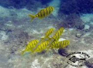 Golden Trevally, Gnathanodon speciosus semi-juveniles