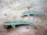 Bar-tail Goatfish, Upeneus tragula