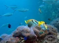Double-barred Rabbitfish; x 2 and Sea Anemones
