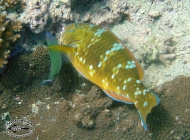 Blue-barred Parrotfish; Scarus ghobban, female