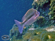 Blue-lined Emperor; Lethrinus species