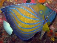 Blue-ringed Angelfish; Pomacanthus annularis