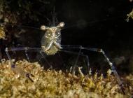 Ghost Shrimp; Cuapetes tenuipes