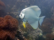 Cleaner Wrasse cleans Teira Batfish