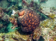 Cushion star; showing its flexibility