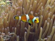 False clown Anemonefish; Amphiprion ocellaris
