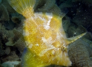 Fan-bellied Filefish, Monacanthus chinensis