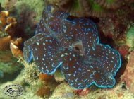 Giant Clam; Tridacna species