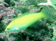 Golden Wrasse; Halichoeres chrysus