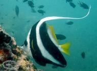 Longfin Bannerfish, Heniochus acuminatus