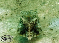 Longhorn Cowfish; Lactoria cornuta head on