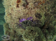 Climber Crab purple, Metopograpsus species