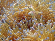 Pink Anemonefish, Amphiprion perideraion x 9