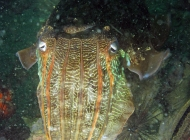 Reef Cuttlefish; Sepia latimanus from Gavin