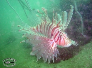 Spotless Lionfish; Pterois russelli