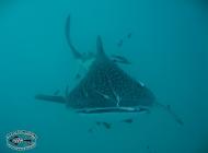 Whale Shark Rhincodon typus