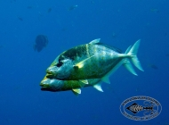 Gold-spotted Trevally pair; Carangoides bajad